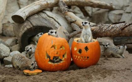 Happy Halloween treat for the Montecasino Bird Gardens meerkats