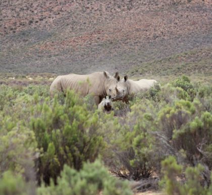Surprise as Aquila welcomes yet another Rhino calf
